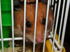 hamster debtor in jail